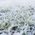 Zamarznięte rośliny pod śniegiem